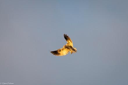 Black-Shouldered Kite # 1