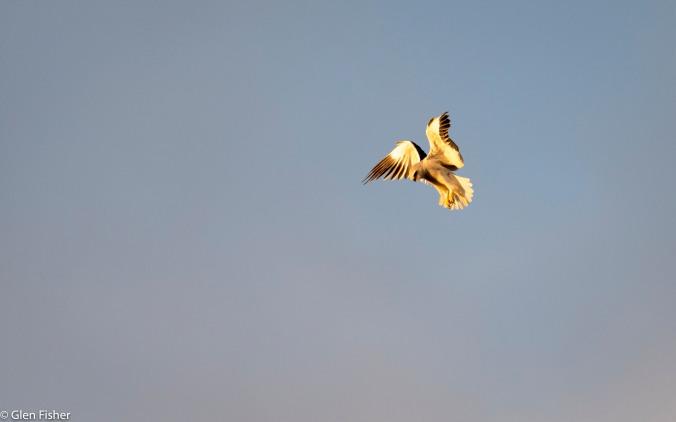 Black-Shouldered Kite # 2