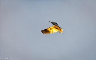 Black-Shouldered Kite # 4