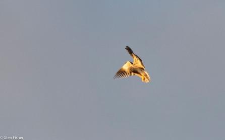 Black-Shouldered Kite # 5