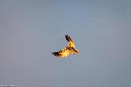 Black-shouldered kite, morning light, Madikwe