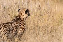Cheetah, Madikwe # 1