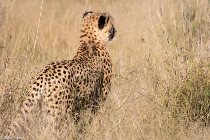Cheetah, Madikwe # 10
