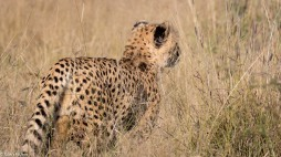 Cheetah, Madikwe # 11