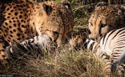 Cheetah, Madikwe # 12