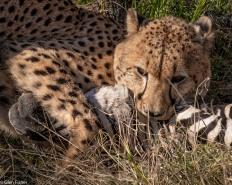 Cheetah, Madikwe # 14