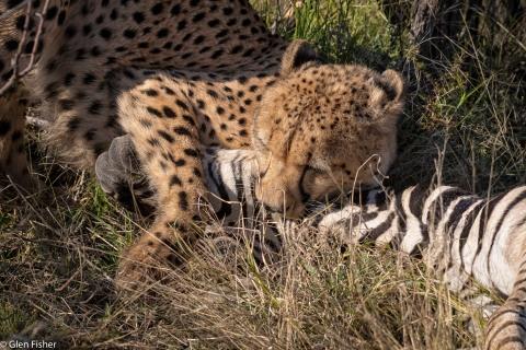 Cheetah, Madikwe # 16