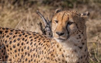 Cheetah, Madikwe # 19