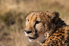 Cheetah, Madikwe # 2