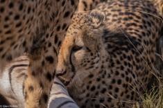 Cheetah, Madikwe # 22