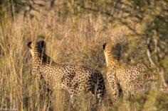 Cheetah, Madikwe # 3