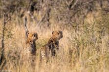Cheetah, Madikwe # 4