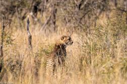 Cheetah, Madikwe # 5