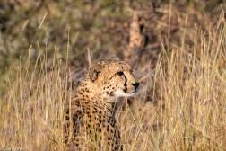 Cheetah, Madikwe # 6