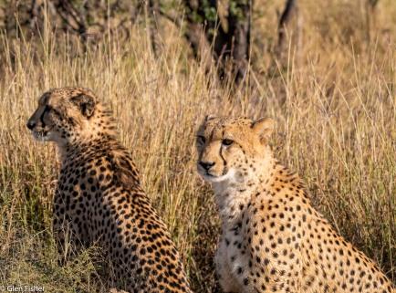 Cheetah, Madikwe # 7