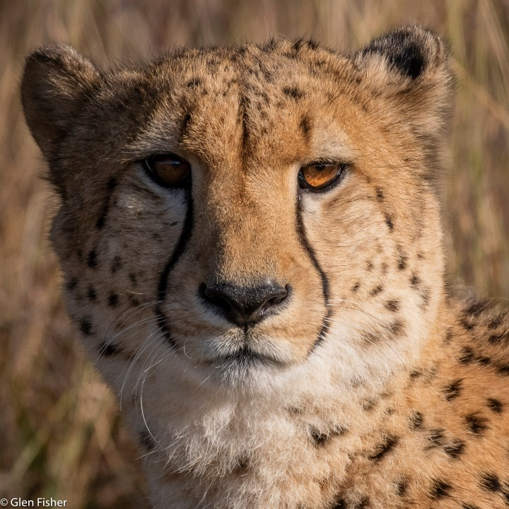 Cheetah hunting – twenty one images