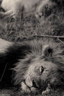 Lion and mate, Madikwe