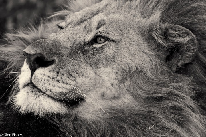 Madikwe Lion – two portraits, in black and white