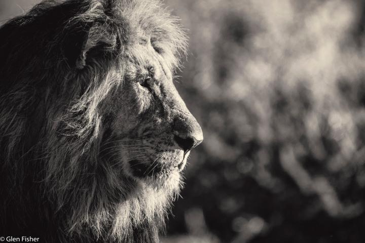 Lion, Madikwe # 2