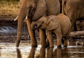 Madikwe elephants # 3