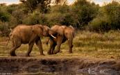 Madikwe elephants # 4