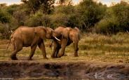 Madikwe elephants # 4