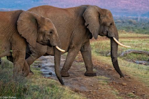 Madikwe elephants # 6