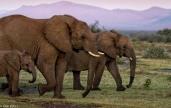 Madikwe elephants # 7