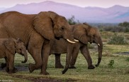 Madikwe elephants # 7