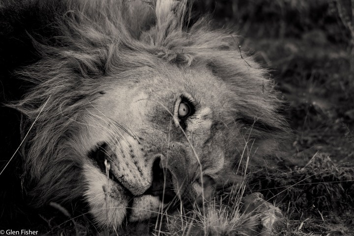 Lion series, Madikwe