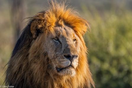 Male lion, Madikwe # 1