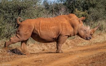 Rhino scatalogical # 3