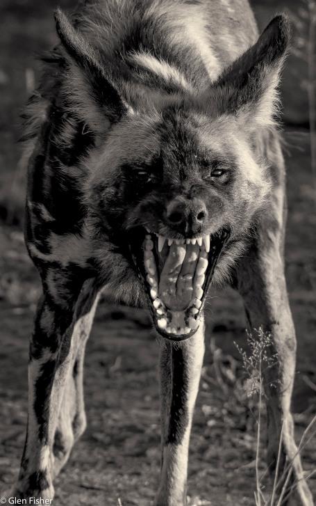 Wild dog # 1