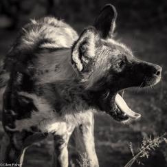 Wild dog # 3