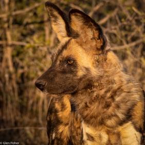 Wild dog # 4