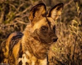 Wild dog # 5