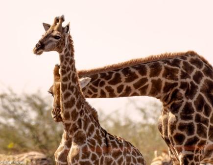 Giraffe, Madikwe # 1