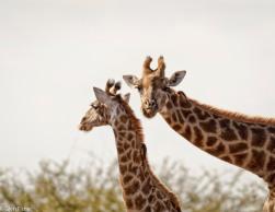 Giraffe, Madikwe # 2