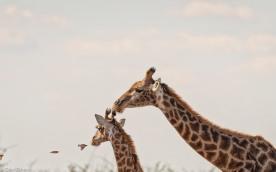Giraffe, Madikwe # 3