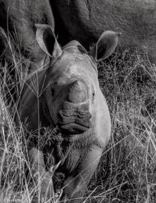 Little guy rhino