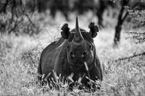 Rhino in a field of grass