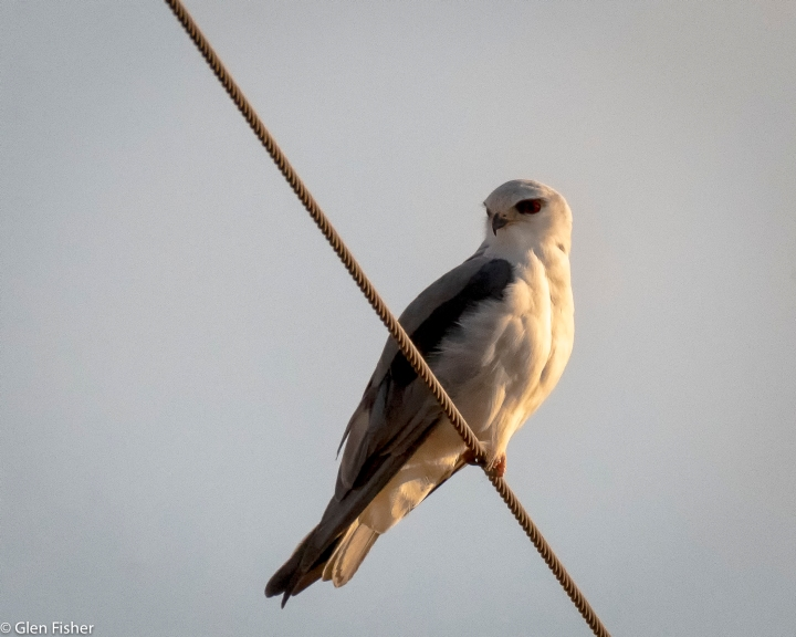Black-Shouldered Kite, Marievale