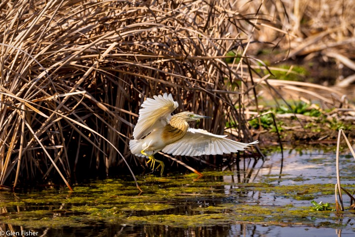 Squacco Heron lift-off