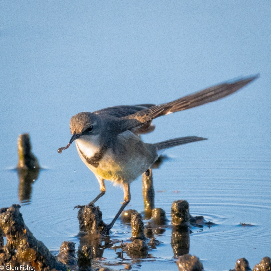 wagtail catching a worm