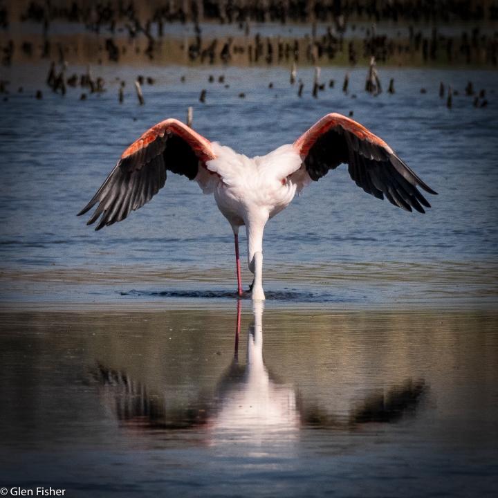 image of a feeding flamingo