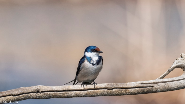 White-throated swallow # 2