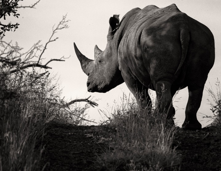 When is a rhino just a rhino?